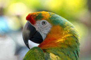 papegaaienkooi